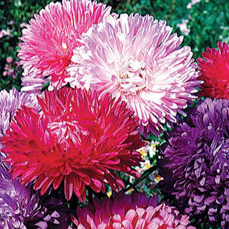 Reine Marguerite Naine Fleur De Chrysantheme 0 8g Graines Elem