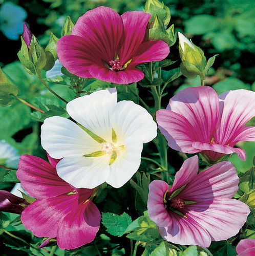 MALOPE A GRANDES FLEURS VARIEES 2g