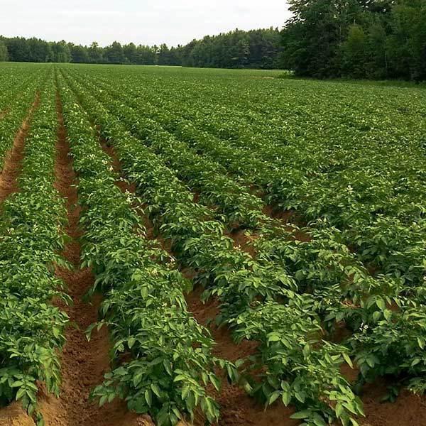 POMME DE TERRE DITTA BIO 25 plants - Graines Elem