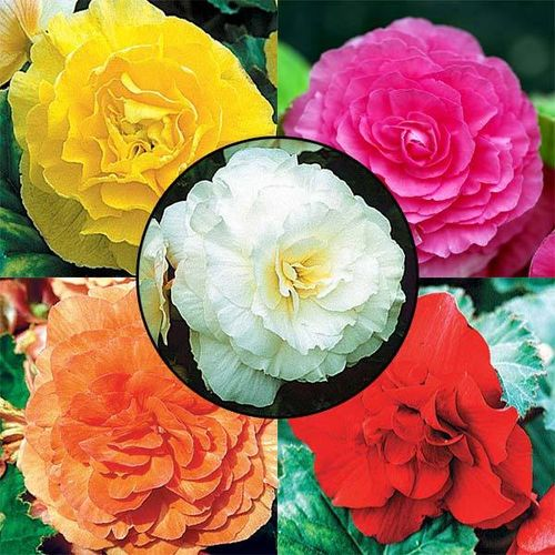 BEGONIAS DOUBLES La collection de 5x3 bulbes