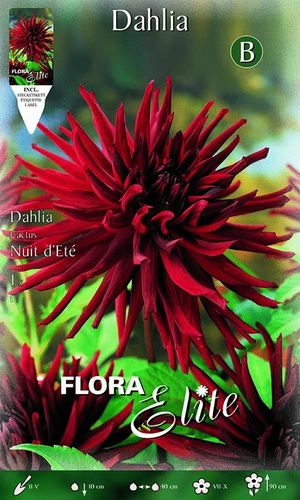 DAHLIA CACTUS ROUGE Le filet de 1 bulbe