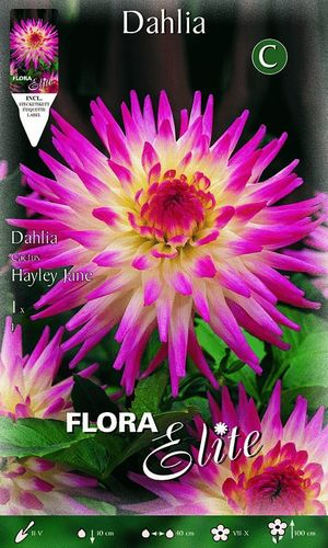 DAHLIA CACTUS ROSE Le filet de 1 bulbe