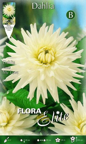 DAHLIA CACTUS BLANC Le filet de 1 bulbe