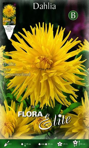 DAHLIA CACTUS JAUNE Le filet de 1 bulbe