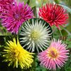 DAHLIA CACTUS La collection de 5x1 bulbe