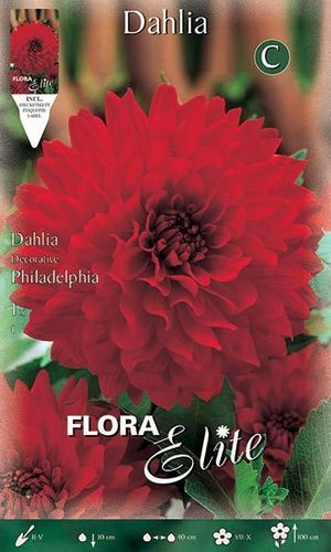 DAHLIA DECORATIF ROUGE Le filet de 1 bulbe