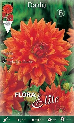 DAHLIA DECORATIF ORANGE Le filet de 1 bulbe