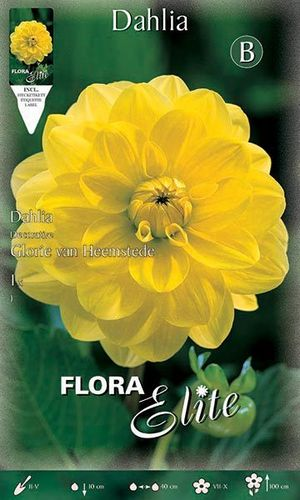 DAHLIA DECORATIF JAUNE Le filet de 1 bulbe