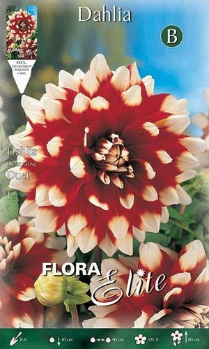 DAHLIA DECORATIF ROUGE BLANC Le filet de 1 bulbe