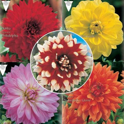 DAHLIAS DECORATIFS La collection de 5x1 bulbe