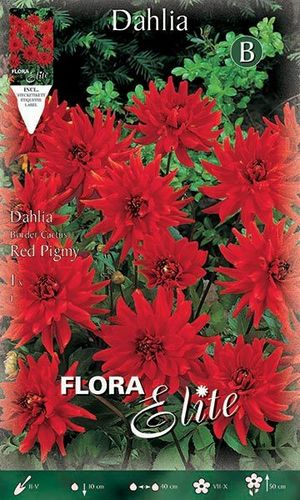 DAHLIA CACTUS NAIN ROUGE Le filet de 1 bulbe