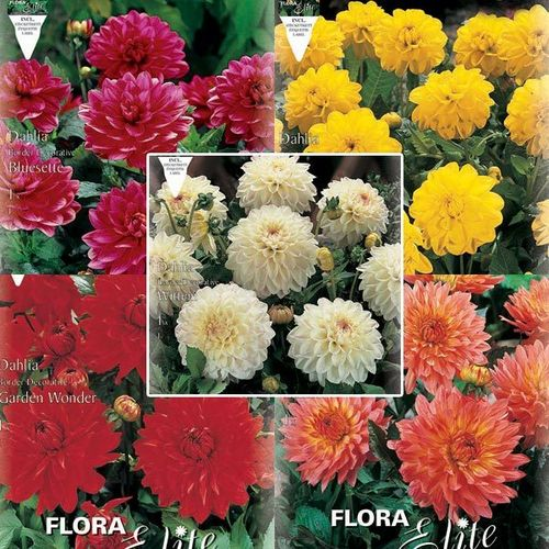 DAHLIAS DECORATIFS NAINS La collection de 5x1bulbe