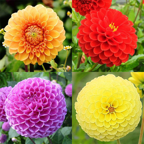 DAHLIA POMPON La collection de 4x1 bulbe