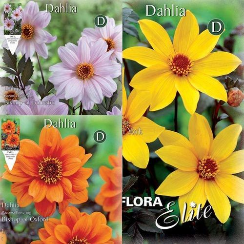 DAHLIA FLEUR DE PIVOINE La collection de 3x1 bulbe